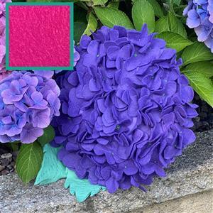 Allison Maryon's Hydrangea Cushion Kit Fuchsia Pink & 0.5m Fabric